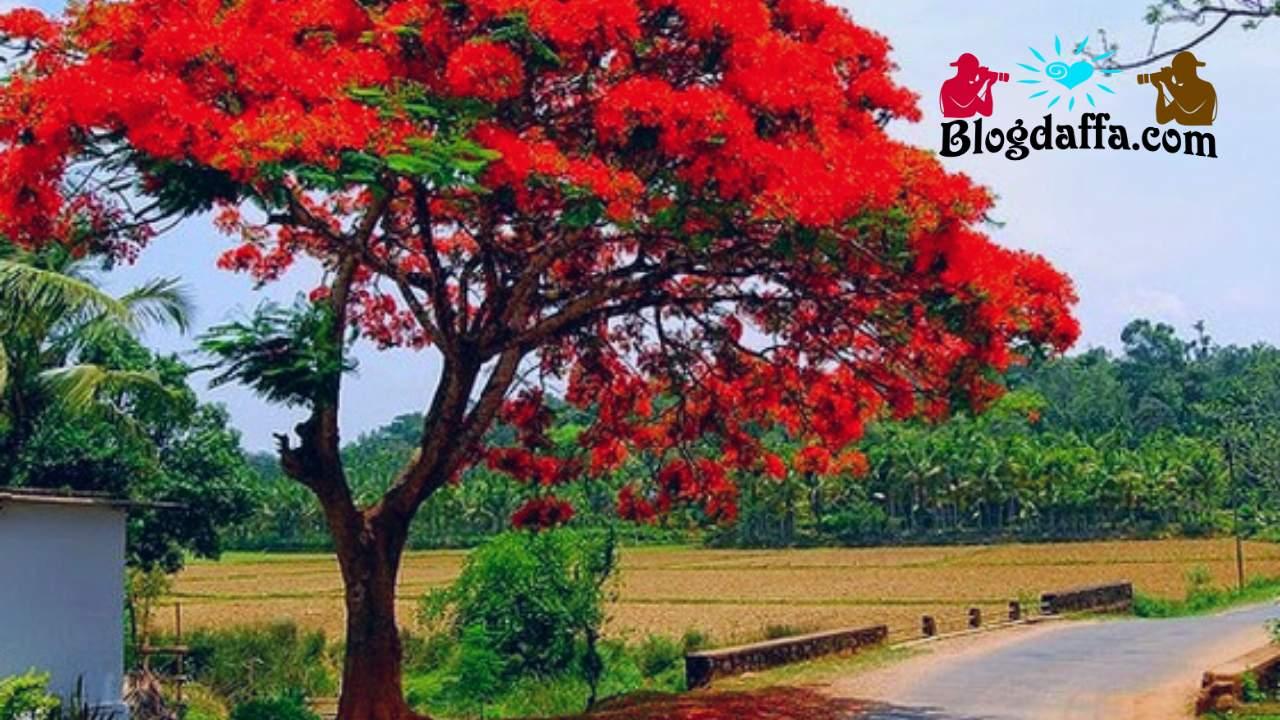 Pohon Flamboyan (Delonix regia)