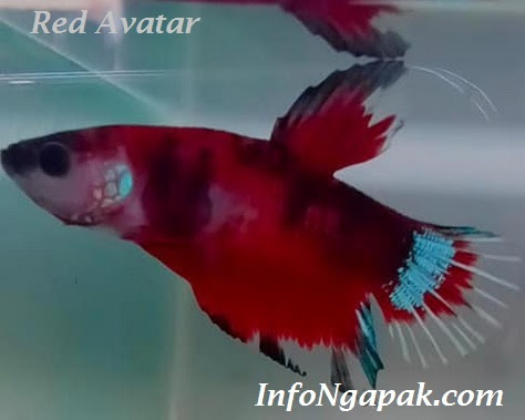 Jenis Ikan Cupang Avatar Menurut Warna Dan Bentuk Ekor Yang Perlu Anda Tahu Infongapak Com