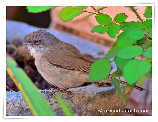 Lesser Whitethroat warbler ,warbler,