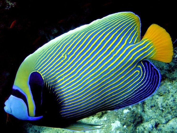 Jenis Ikan Hias Air Laut Dan Gambarnya 17 Jenis Ikan Hias Air Laut Yang Mudah Dipelihara Ikanesia Id