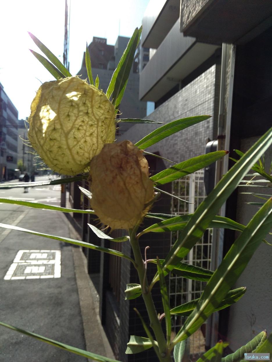 フウセントウワタの果実