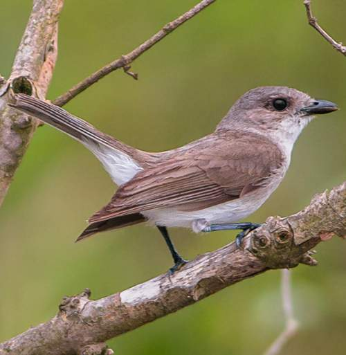 Indian birds - Image of Mangrove whistler - Pachycephala cinerea