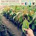 Jual Bibit Durian Merah Harga Murah