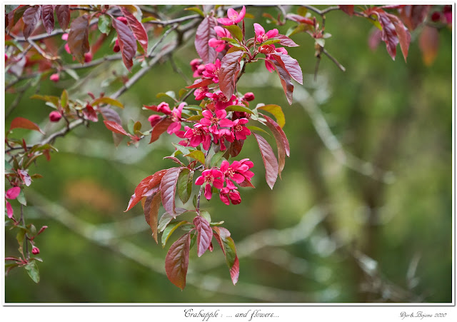 Crabapple: ... and flowers...