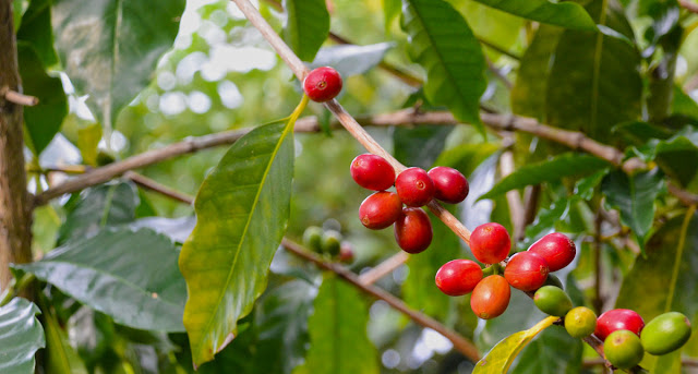 Kona Coffee, Big Island, Hawaii