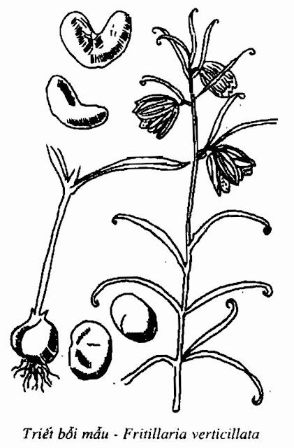 Hình vẽ Triết Bối Mẫu - Fritillaria-BulbUs Fritillariae - Nguyên liệu làm thuốc Chữa Ho Hen