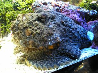 السمكة الصخرية المرجانية Stone Fish