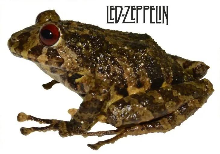 Científicos nombran a nueva especie de rana en honor a una de las mejores bandas de la historia: Led Zeppelin