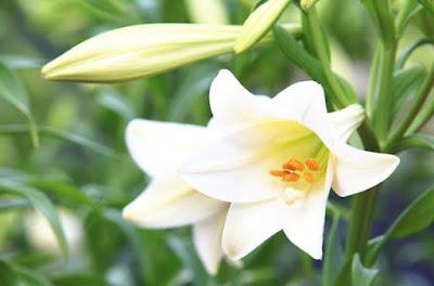 hình ảnh hoa huệ
