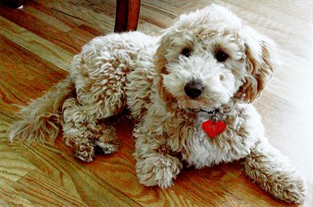 Bichpoo Poochon Dog Poodle Mix Breeds Poochon Puppies caniche bichon croise