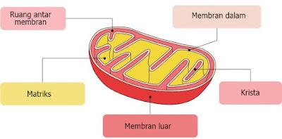 fungsi mitokondria brainly, mitokondria pdf, fungsi membran luar mitokondria, fungsi matriks pada mitokondria, krista mitokondria, sebutkan fungsi mitokondria