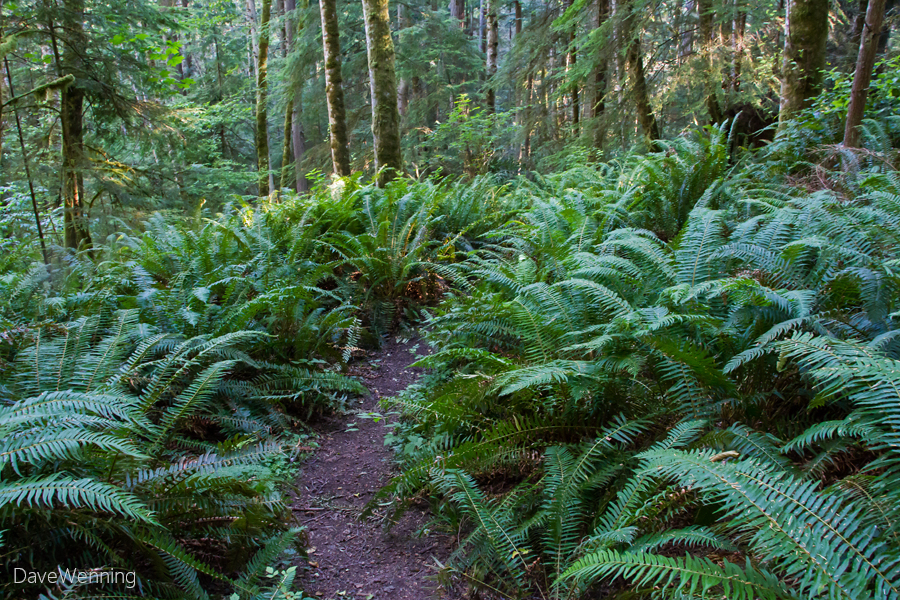 Western Sword Ferns, Ginnett Hill Trail, Deception Pass State Park