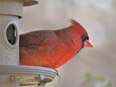Photo of Northern Cardinal at bird feeder