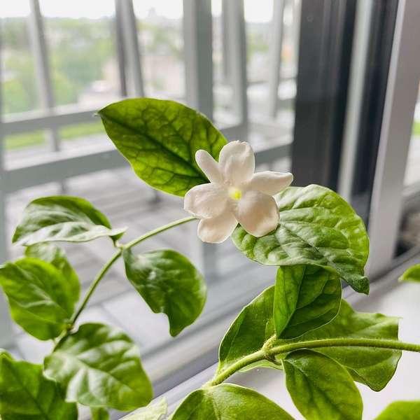 jasmine plant