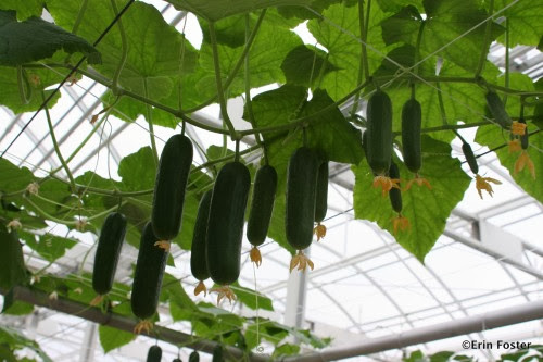 Container Gardening Cucumbers Done Easy ~ Gardening Tutorials