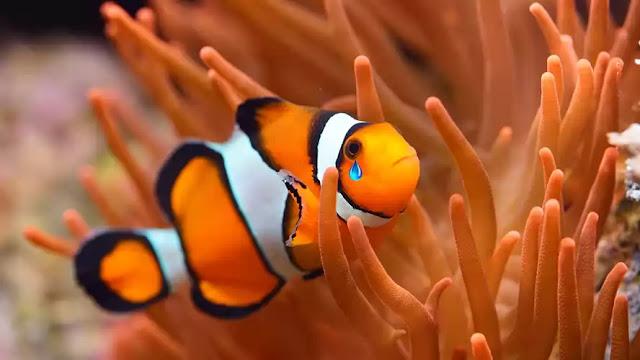 Los 'Nemo' entran en lista de especies amenazadas por cambio climático