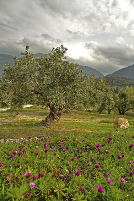 Olive groves of Greece Photo by alexandros9
