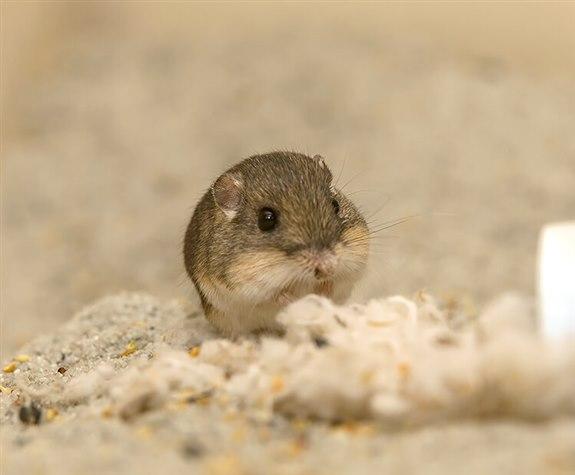 Cep sıçanı - C hayvan isimler