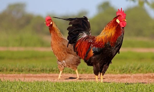 Why Do Chickens Fart and How to Reduce the Smell