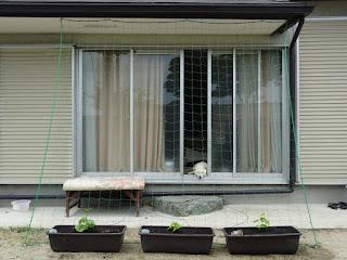 今日ネットを張って植えたゴーヤとそれを家の中から見ているチロ