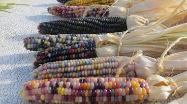Barbara McClintock, los genes saltarines y las mazorcas de maíz multicolores