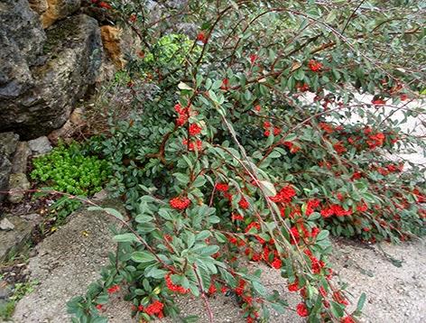 Cotoneaster nacido de semilla entre las rocas