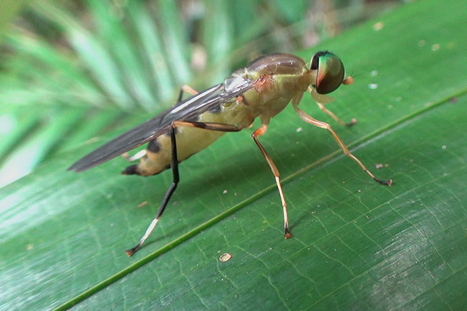 Dlium Mangir fly (Ptecticus cingulatus)