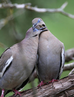 Two White Winged Doves sitting close together with their heads resting on each other.