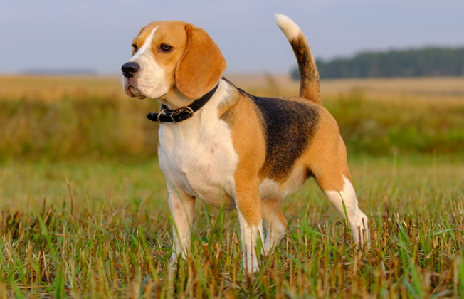 Beagle Pure Breed Puppies Beagle Puppy Price In Indore