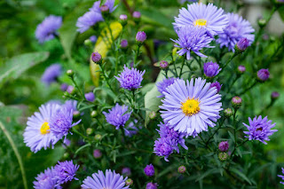 aster perennial plant in bloom