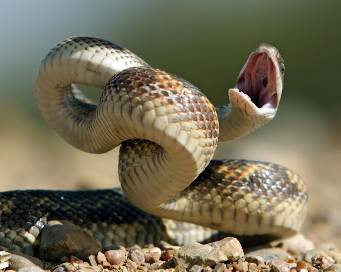 Humans could evolve to become venomous, say snake researchers