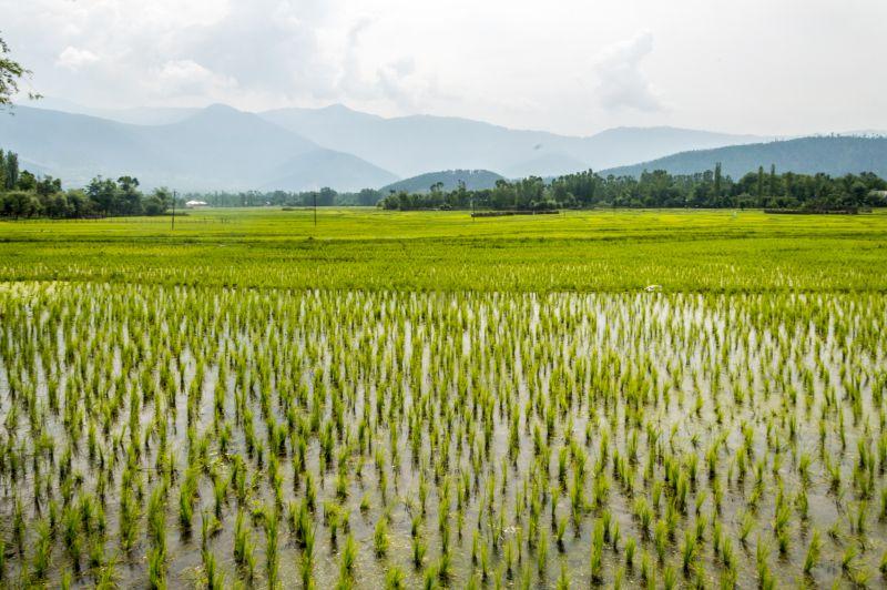 Vast rice fields of Wadi - E - Lolab