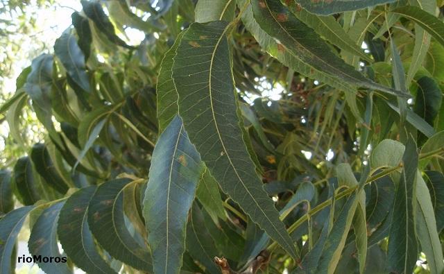 Hojas de Pecán Carya illinoinensis