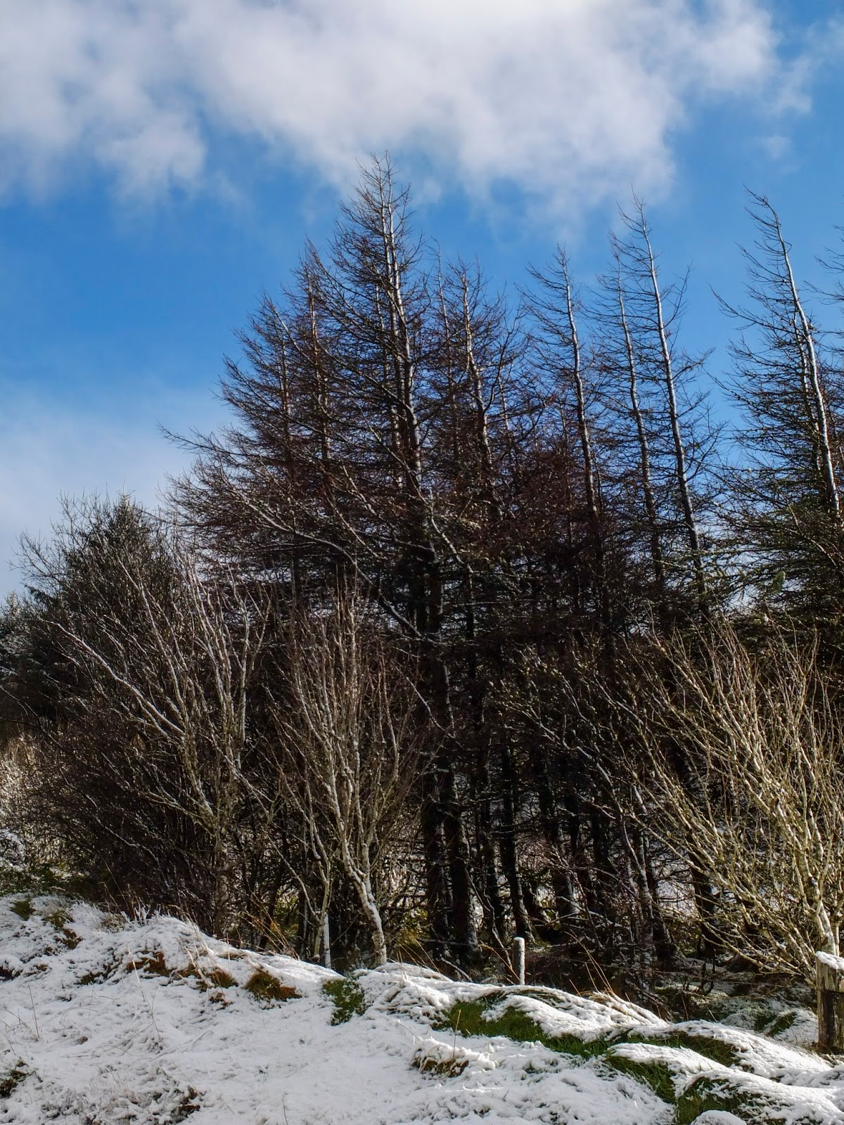 Bare trees between a blue sky with clouds and snowy ground.