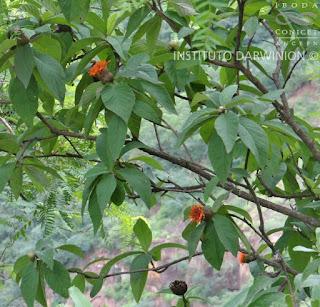 Azafrán (Cnicothamnus lorentzii)