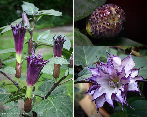 gambar buah dan bunga kecubung