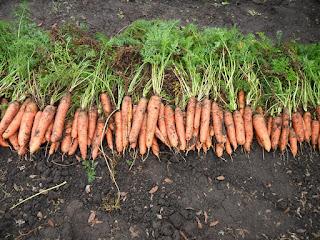 Убираю морковку, 15 сентября