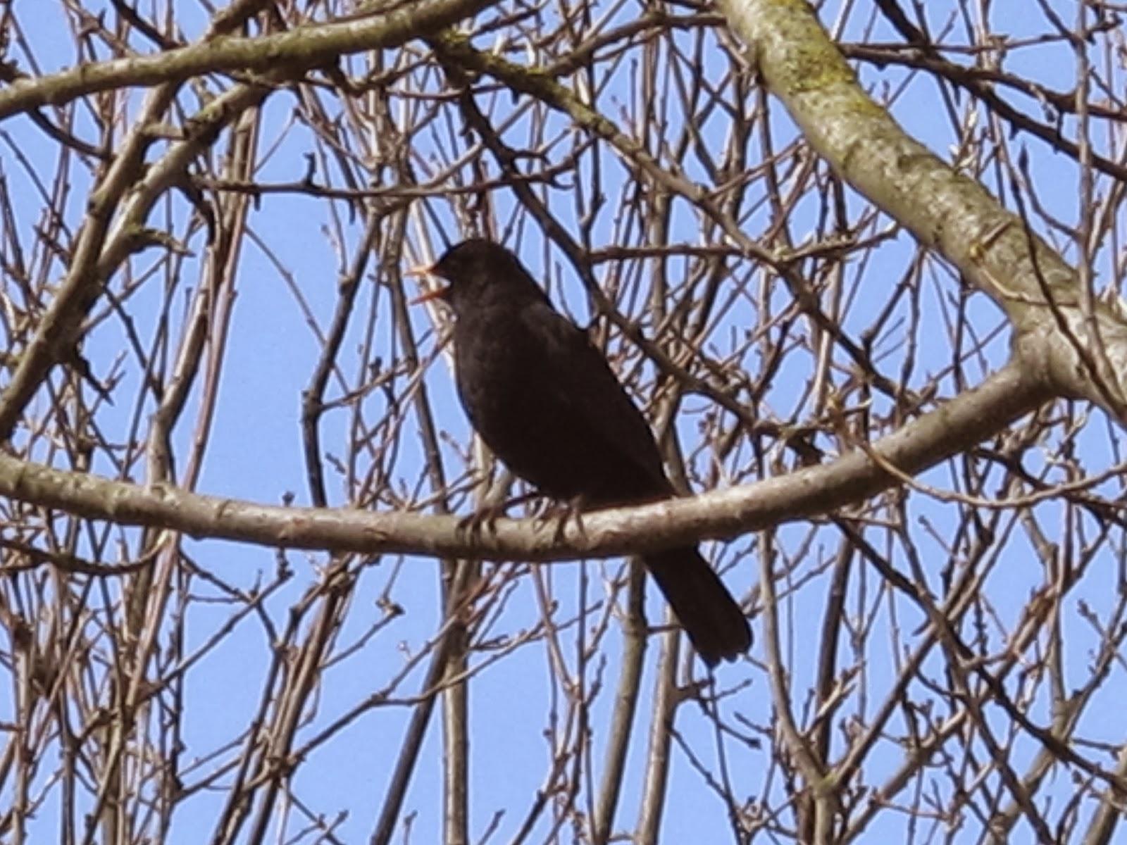 The Rattling Crow: Blackbird alarm calls