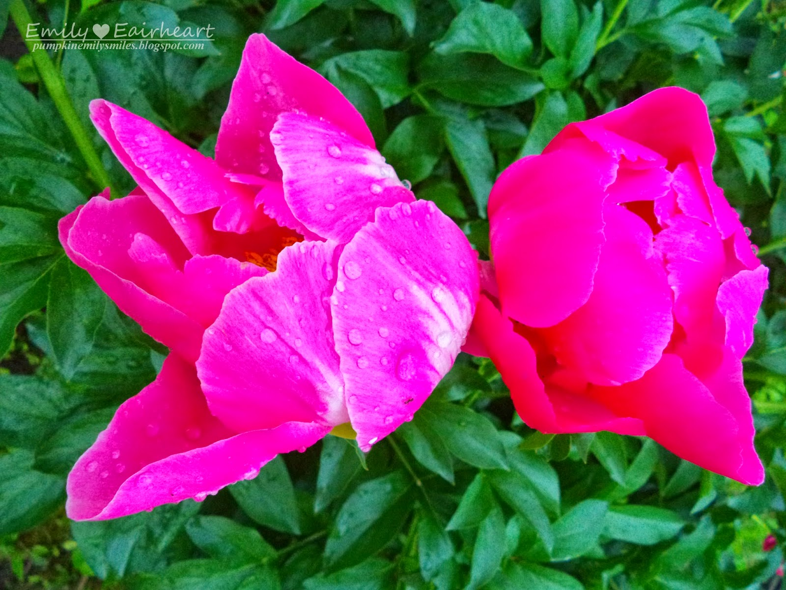 Two hot pink Peonies. The flower on the left has water droplets on the petals.