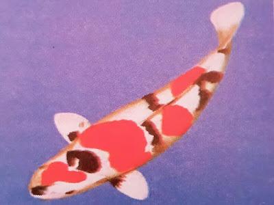 Gambar Ikan Koi Showa