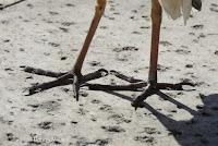 Cattle egret feet, Whole Foods, Kailua - © Denise Motard
