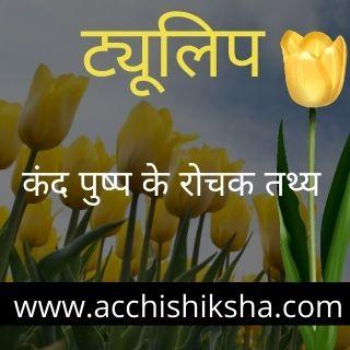 tulip flower in hindi - ट्यूलिप फूल