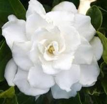 bunga melati putih yang cantik
