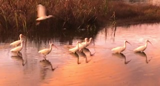 American white ibis; sunset; Mt. Pleasant; South Carolina; Giorgio Coniglio