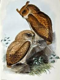 Búho de Guinea: Bubo poensis