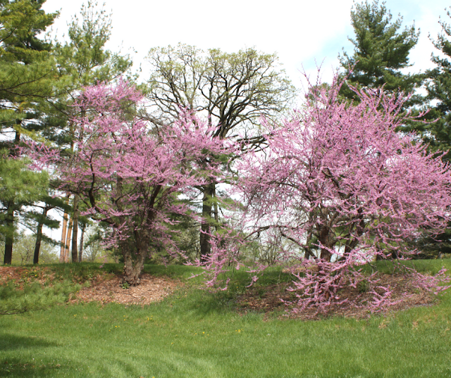 Spring blooming trees at The Morton Aboretum