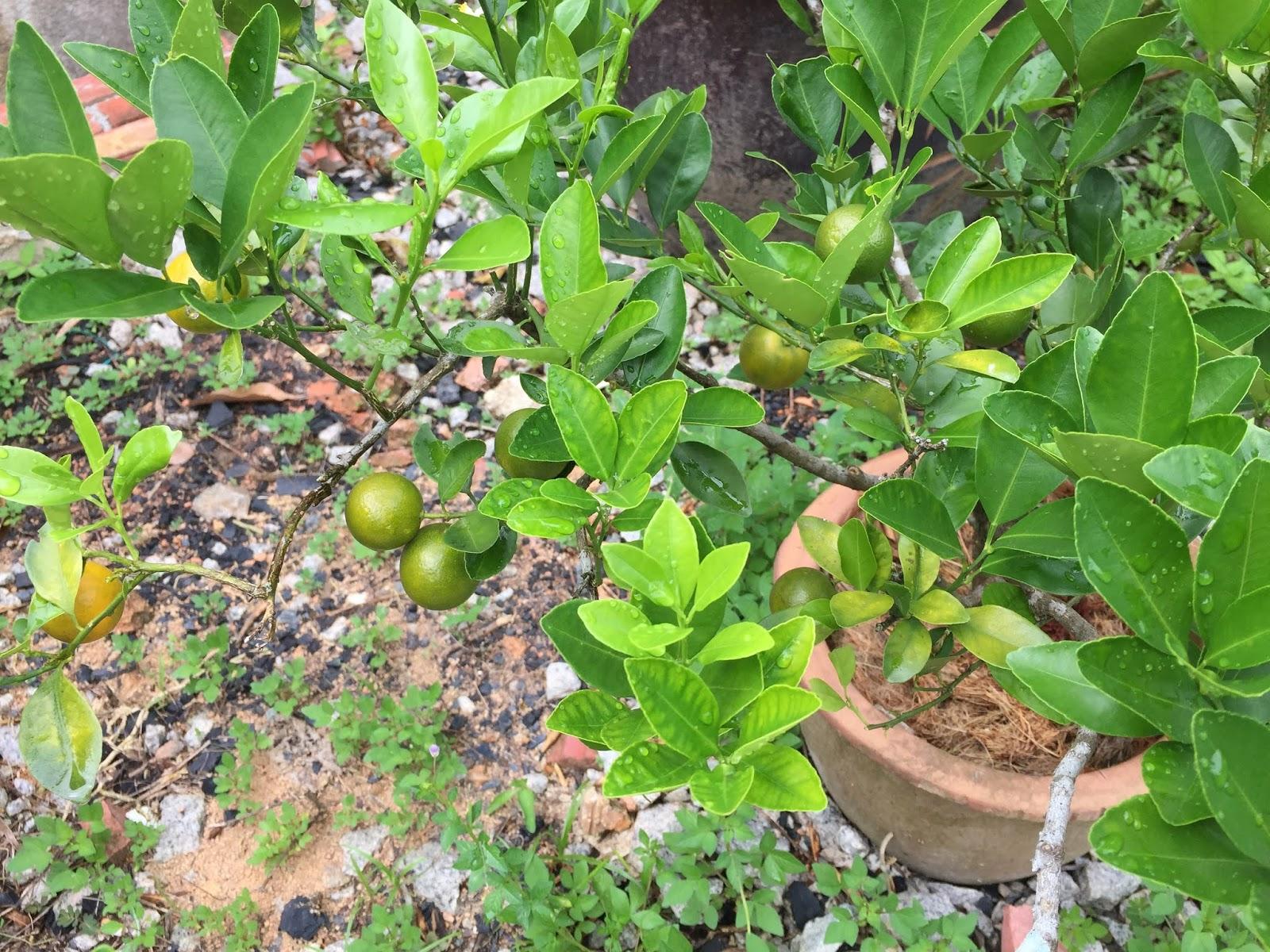 hasil bertani, tanaman mudah, berkebun