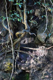 tree roots, Rio Viejo, Costa Rica