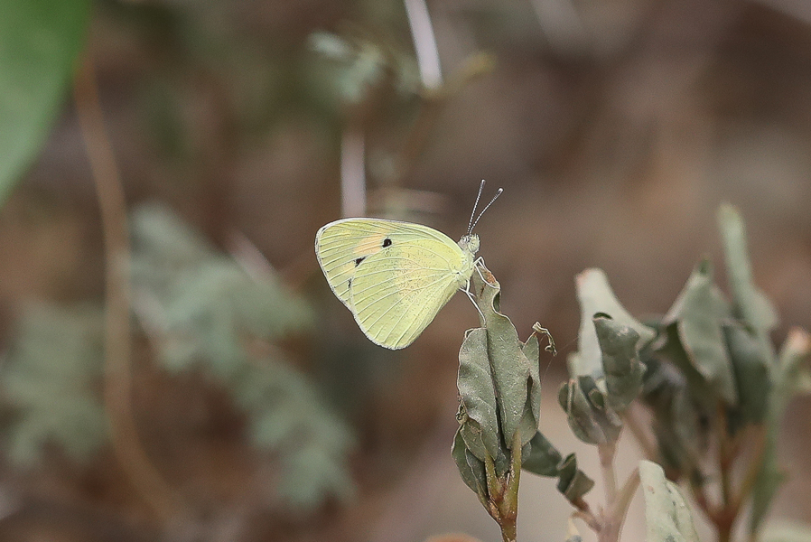 Blue-spotted Arab Colotis phisis