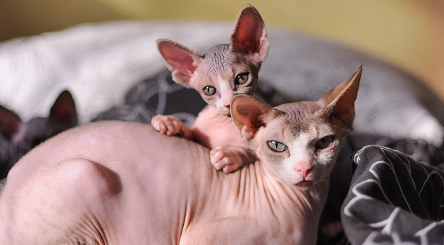 10 Kucing Termahal di Dunia, Bahkan No.1 Harganya Rp 2,13 Miliar